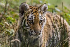 baby animals animals tiger nature