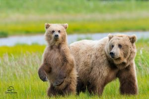 baby animals bears nature animals