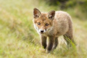 baby animals fox animals
