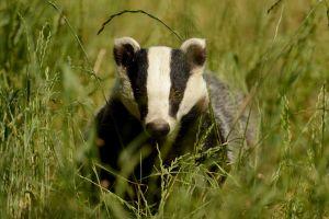 badger wildlife nature grass spikelets animals