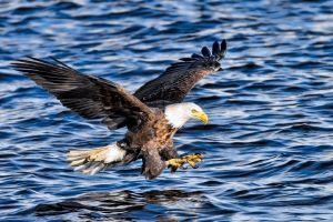 bald eagle animals eagle birds