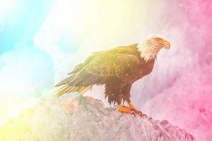 bald eagle animals eagle colorful edited wildlife