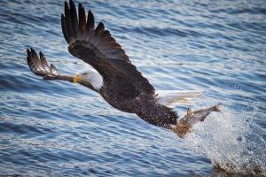 bald eagle birds animals eagle