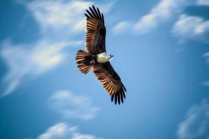 bald eagle birds animals