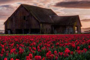barn tulips abandoned field nature
