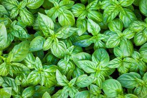 basil green plants