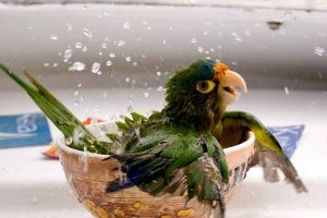 bathing parrot birds