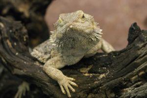 bearded dragon animals reptiles macro lizards