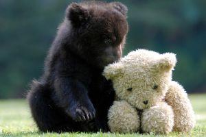 bears animals cubs teddy bears
