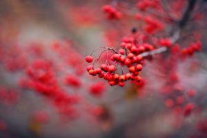 berries fruit macro branch plants