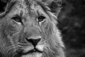 big cats animals monochrome lion
