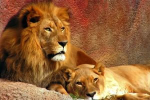 big cats mammals lion animals