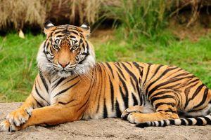 big cats tiger animals mammals