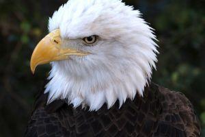 birds animals bald eagle nature