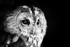 birds animals owl monochrome