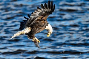 birds bald eagle animals eagle