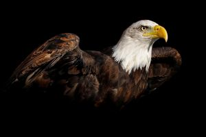 birds bald eagle simple background nature