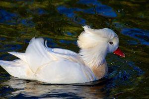 birds duck animals