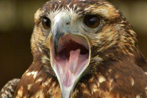 birds eagle animals