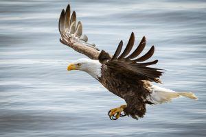 birds eagle bald eagle animals