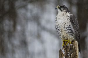 birds falcons animals snow