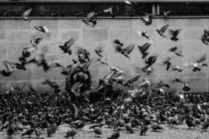 birds monochrome motion blur pigeons photography animals