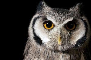 birds nature owl