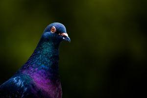 birds photography animals dove