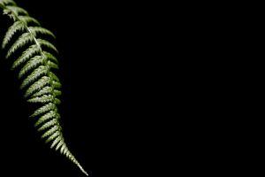 black background minimalism macro green leaves nature ferns