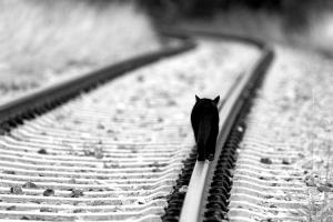 black cats monochrome walking cats white animals