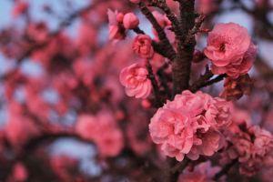 blossom spring branch pink flowers