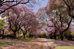 blossoms dirt road trees nature urban