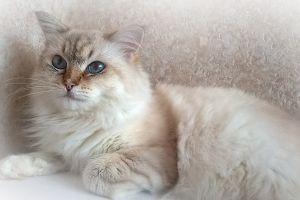 blue eyes animals cats