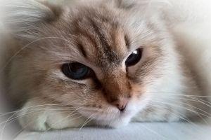 blue eyes cats animals