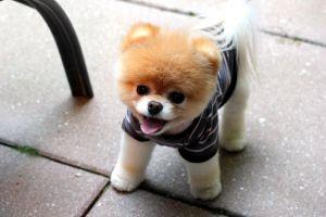 boo puppies dog pomeranian