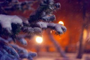 branch pine trees winter macro plants
