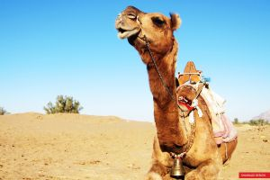 camels animals sand