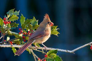 cardinals birds nature animals