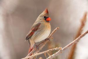 cardinals twigs animals nature birds