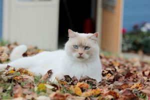 cats animals blue eyes leaves