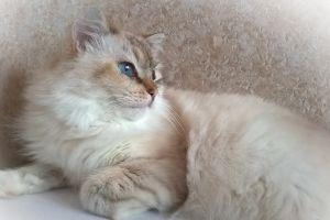 cats animals blue eyes