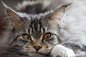 cats animals closeup mammals