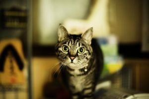 cats animals green eyes