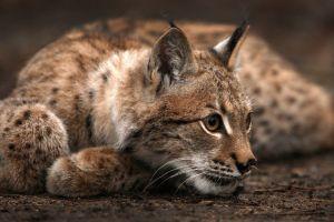 cats animals lynx