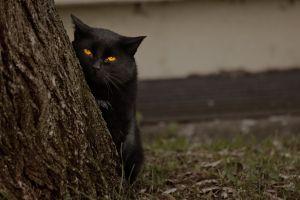 cats animals mammals black cats