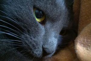 cats animals russian blue