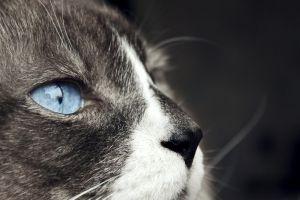 cats blue eyes animals