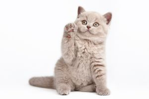 cats white background simple background animals