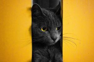 cats yellow animals black