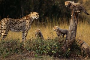 cheetahs cubs animals baby animals
